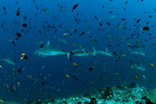 Immersioni alle Maldive atb-grey-sharks.jpg