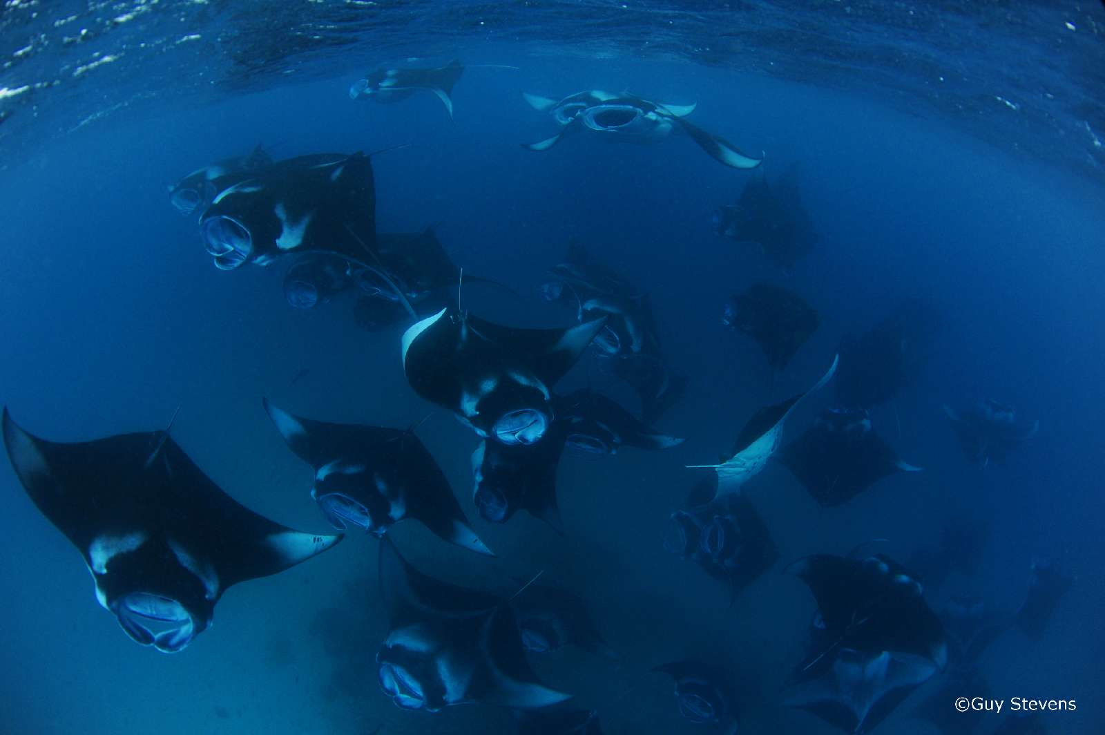 mass-reef-manta-rays-feeding-hanifaru-maldives.-guy-stevens-manta-trust-2009b.jpeg